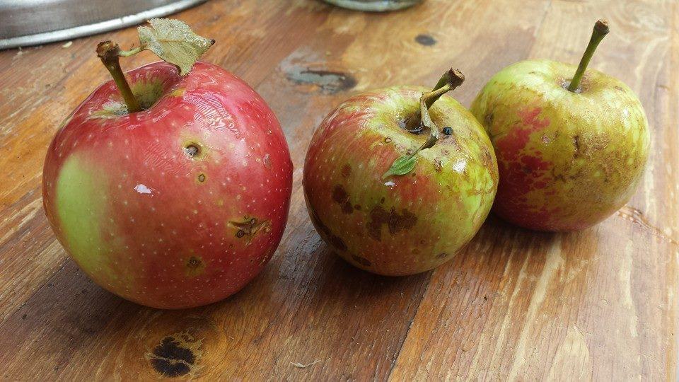 gorgeous apples!